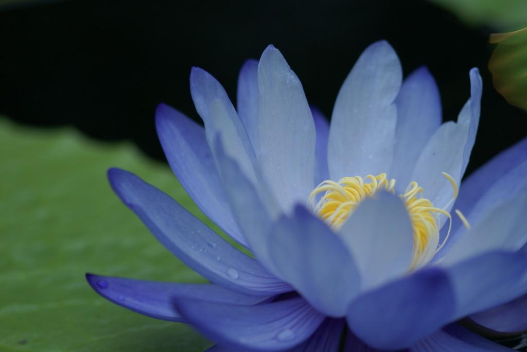 池浮かぶ花