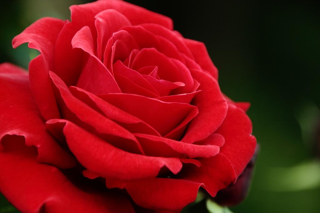 東沢バラ公園の薔薇