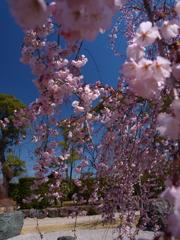 西尾市の枝垂れ桜