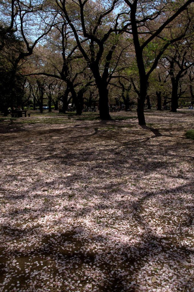 桜のジュウタン