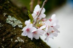 すきまから咲く桜
