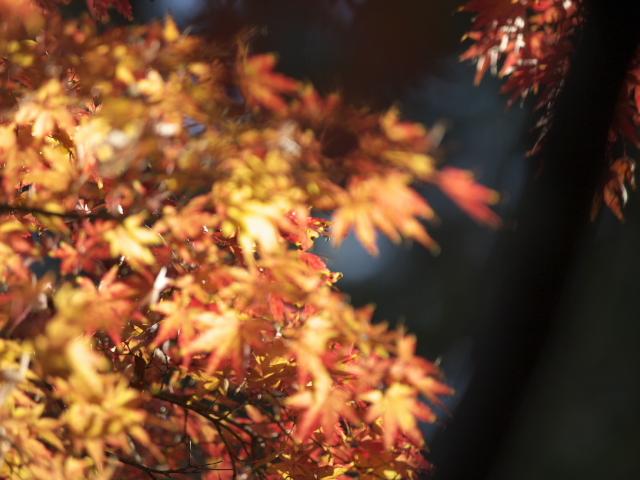 高尾山2008秋 もみじ