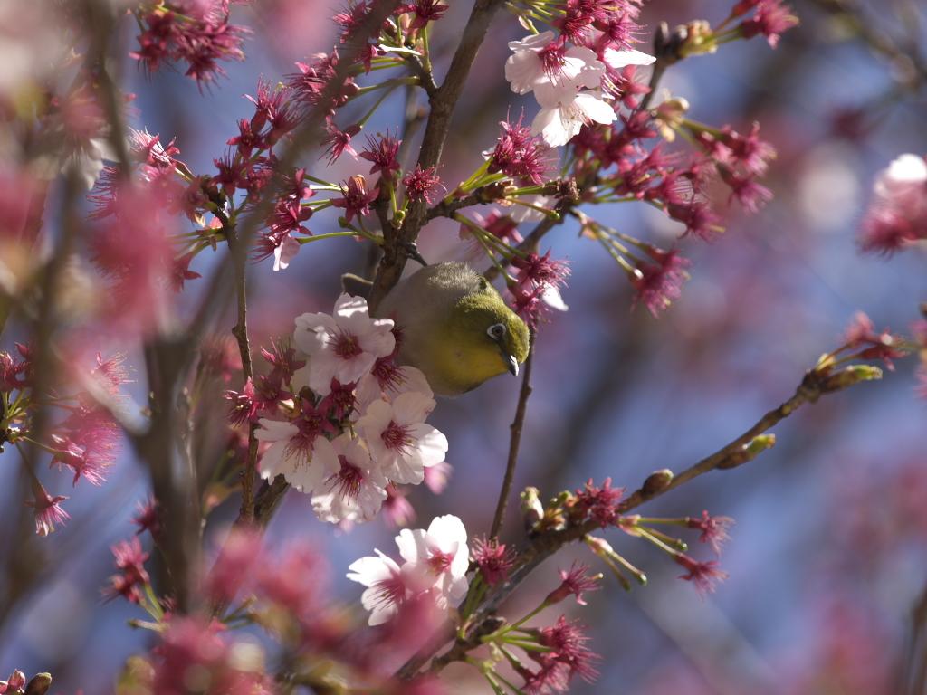 新宿御苑2009(春) メジロ