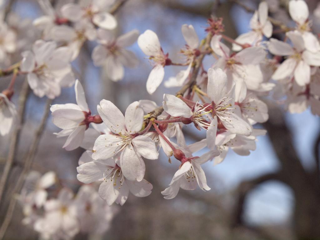 小石川 後楽園 枝垂桜