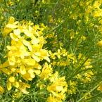 RICOH CX1で撮影した植物(菜の花)の写真(画像)