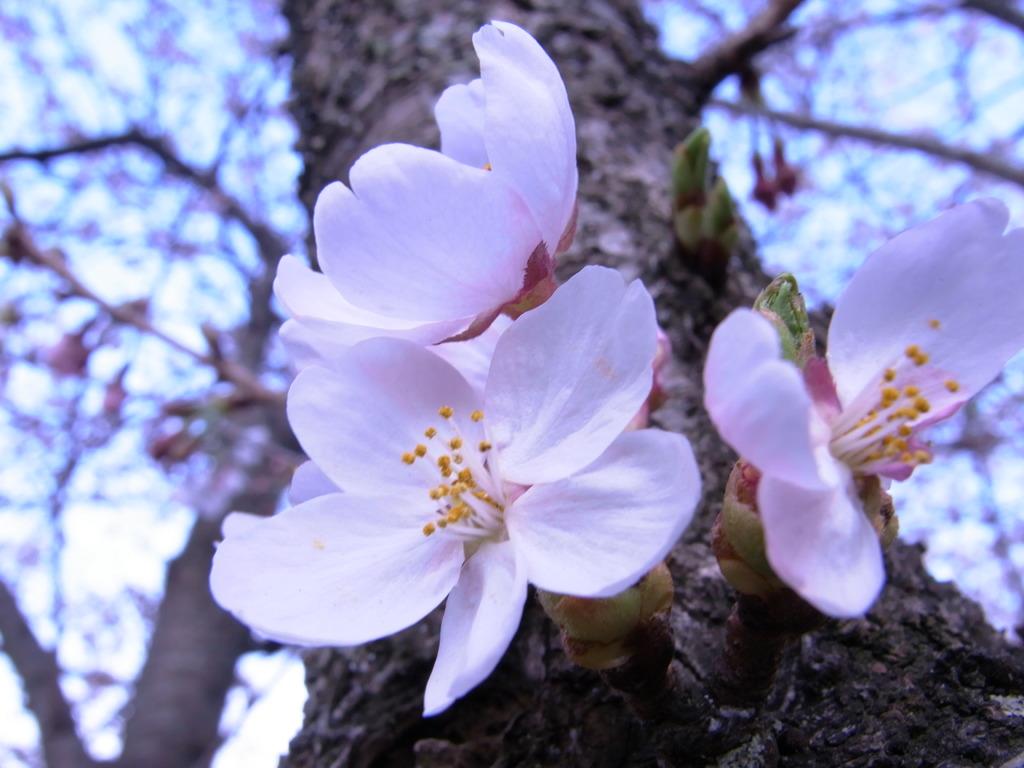 桜 一番好きな写真