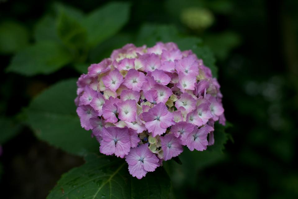 紫陽花 June/2009 #08
