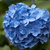 紫陽花 June/2009 #04
