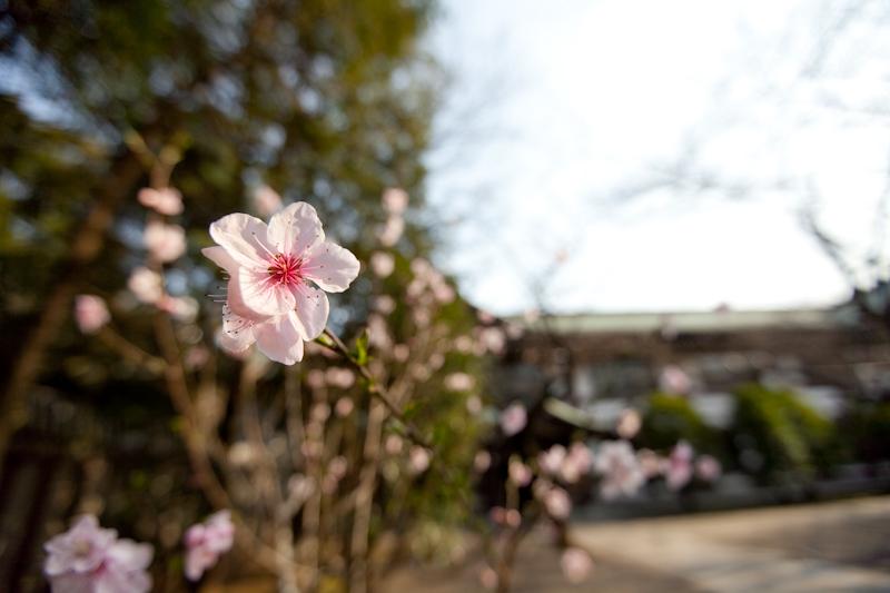 Sakura 2009