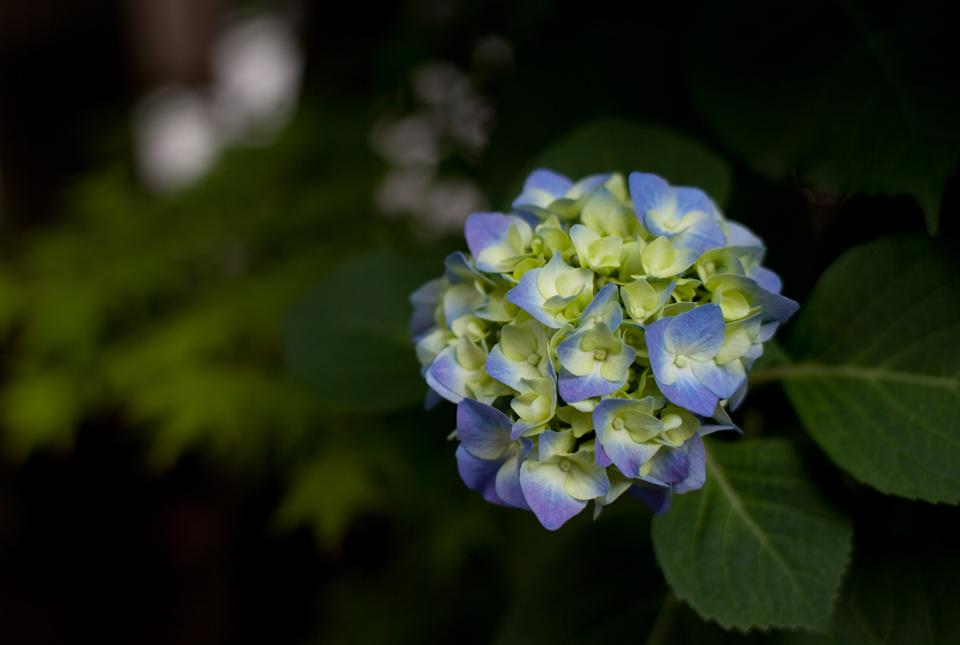 紫陽花 June/2009 #01