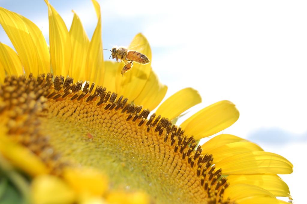 ハチとひまわり