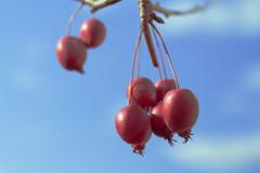 姫リンゴ-0388