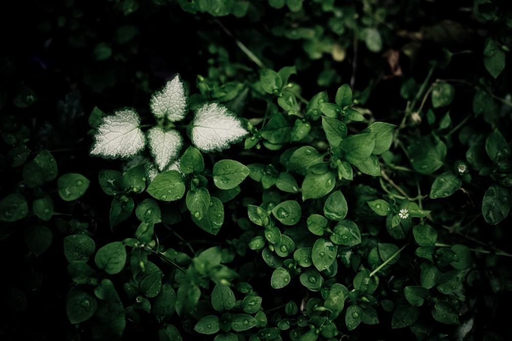 白い葉-6619