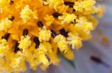 花粉だらけのシベ-1118