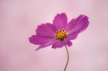 秋桜-1501
