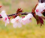 山桜-0829
