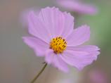秋桜-1030812