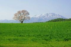 小岩井農場の一本桜