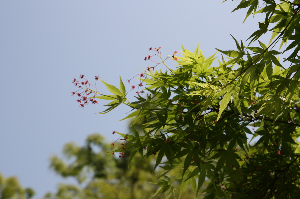 イロハモミジの花