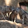 多摩動物公園 オオカミ