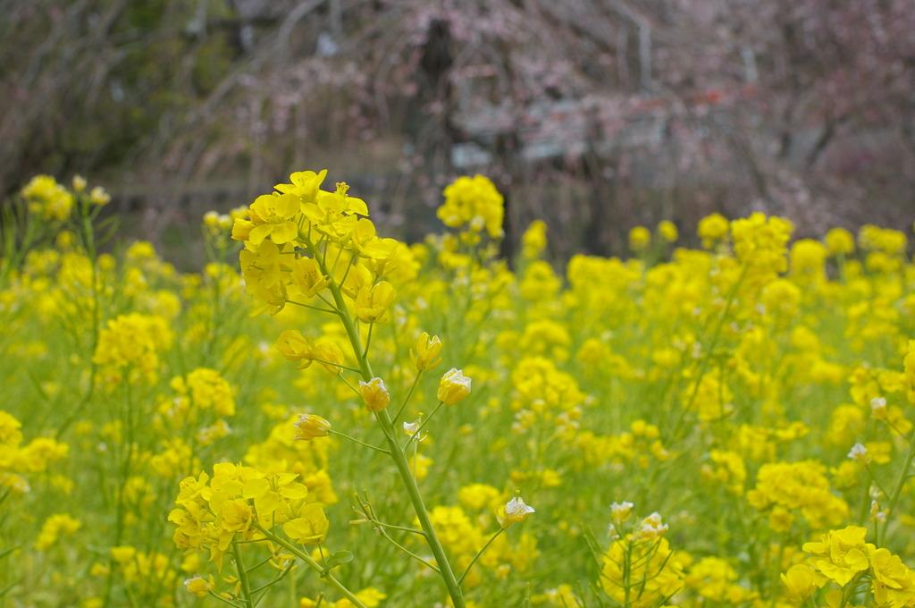 菜の花と桜のつぼみ