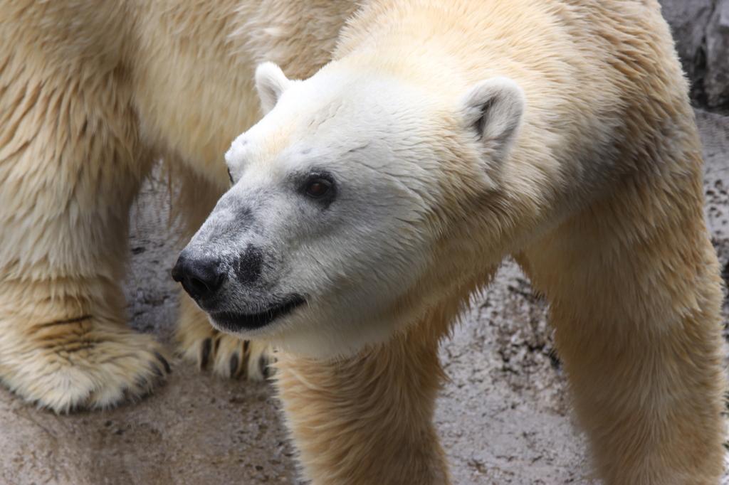 旭山動物園にて_ ホッキョクグマ