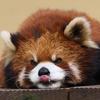 旭山動物園にて_レッサーパンダ