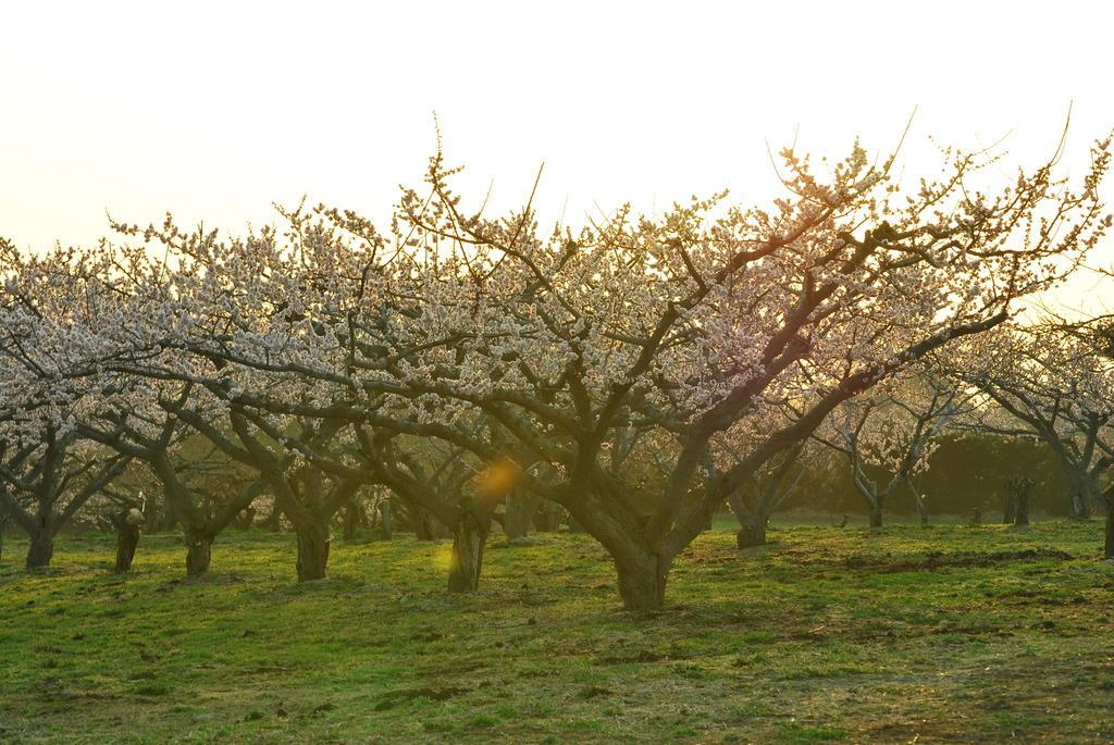 りんご畑の朝