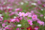 秋sakura