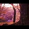 吉野山 朝の桜