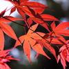 真夏の紅葉。