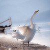 白鳥の湖 @屈斜路湖
