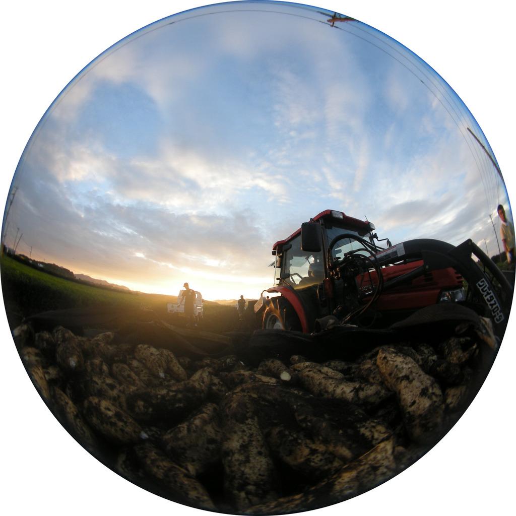 朝の芋掘り