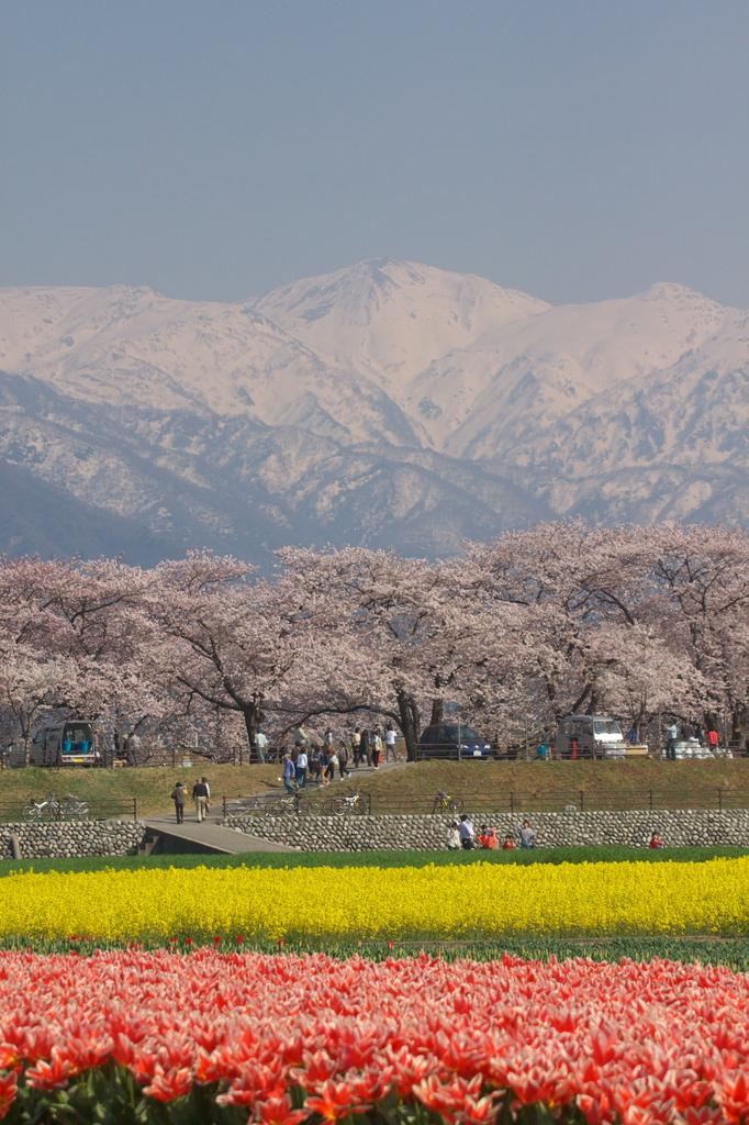 チューリップ 菜の花 桜 山 空