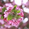 5月の桜? さるすべり?2