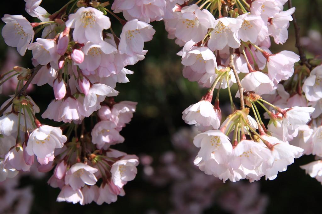 washington D.C. の桜