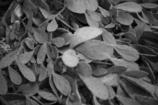 NIKKOR 5cm f1.4/多肉植物