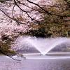 桜と噴水のある公園