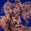 夜を待つ枝垂桜