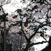 桜 vs 椿