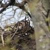 オオタカ の巣 (参考程度です)