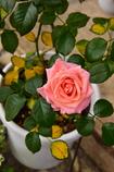 ポールセンのミニ薔薇