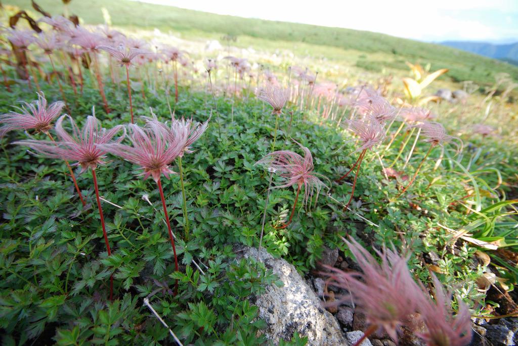 白山で見つけた高山植物