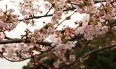 Sakura20100402-2