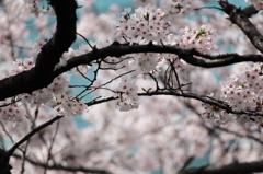 2011年の桜