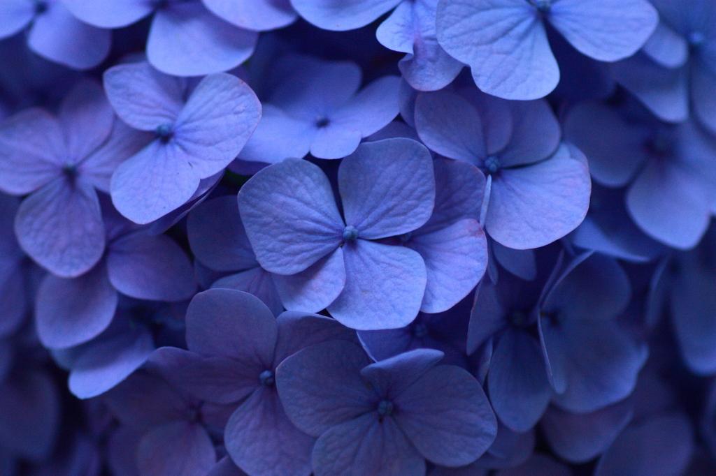 紫陽花 04