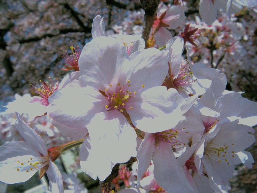 桜大好き!