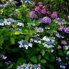 夕暮れの紫陽花#1