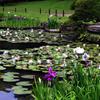 睡蓮と花菖蒲の池