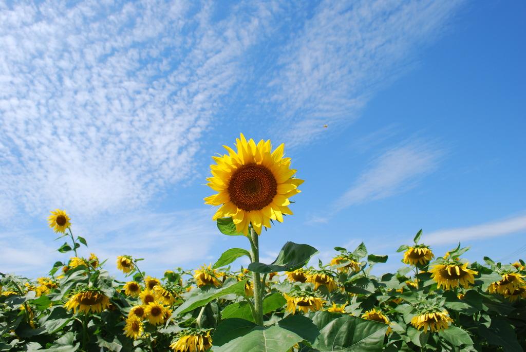 向日葵に蜜蜂